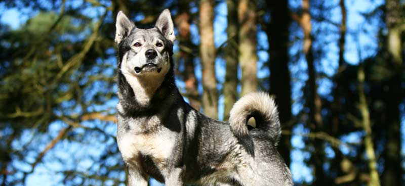 Swedish Elkhound featured image