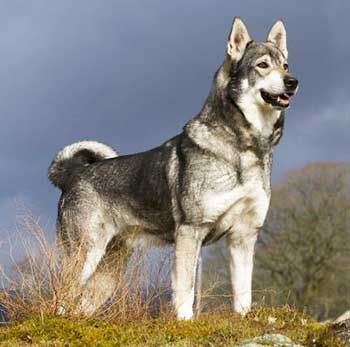 Swedish Elkhound is an elegantly looking dog, who is very agile and strong