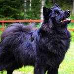 Swedish Lapphund Dog Breed Info And Characteristics