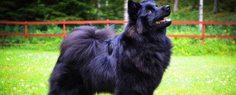 Swedish Lapphund featured image