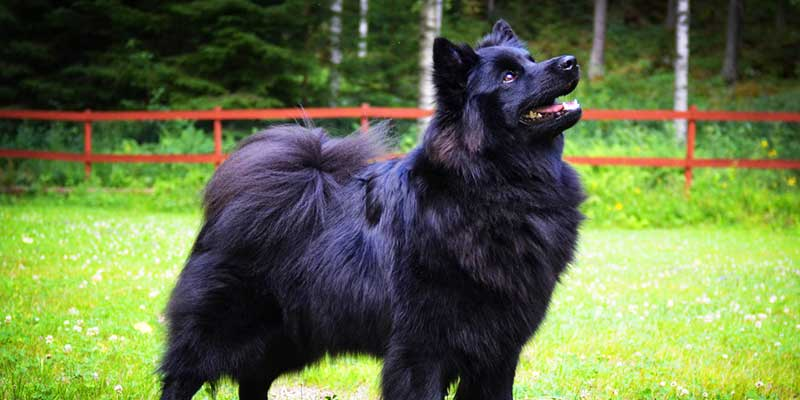 Swedish Lapphund featured image
