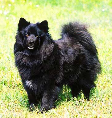 Swedish Lapphund is a versatile working dog with many qualities