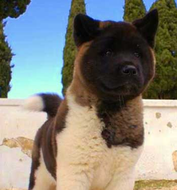 Akita Dog Black And White
