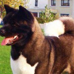 American Akita Breed Info And Characteristics
