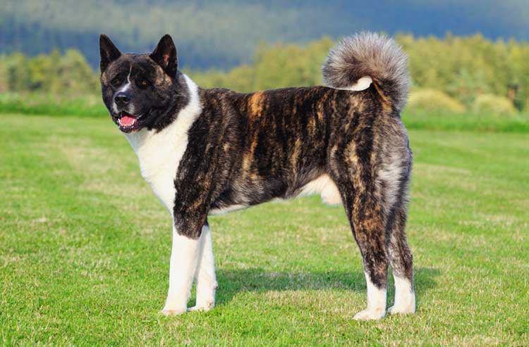 Intimidating look and bear-like head are some of the main characteristics of the American Akita