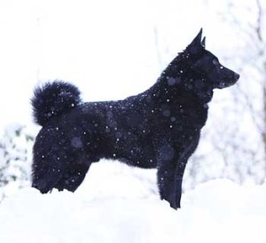 Black Norwegian Elkhound is an agile, quarrelsome and hardy dog