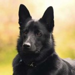 Black Norwegian Elkhound Dog Breed Info And Characteristics