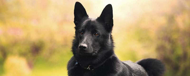 Black Norwegian Elkhound featured image