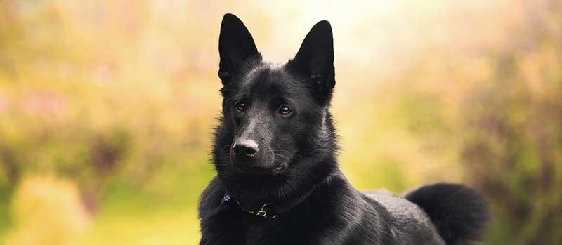 Black Norwegian Elkhound Dog Breed | Info | Characteristics  Black Norwegian People