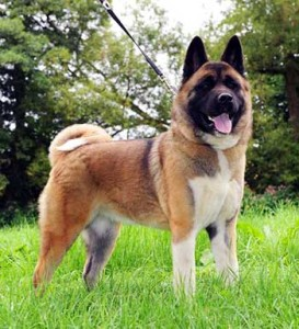 The Great Japanese Dog is large and powerful, perfectly adapted for guarding