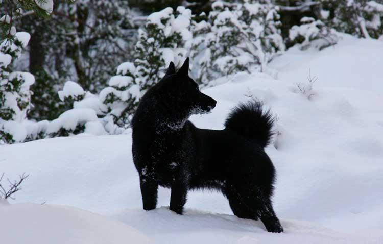 Norsk Elghund Sort is an excellent big game hunting dog!