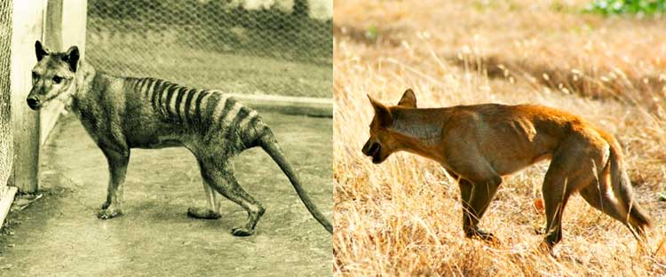 Dingoes are often blamed for the extinction of some unique Australian marsupials - Tasmanian devil, Tasmanian nativehen, and thylacine