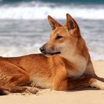 Dingo Dog Characteristics And Traits