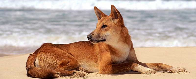 origin behavior and physical characteristics of the dingo The carolina dog, or american dingo, is an intelligent, expressive dog that is   to be alive, but primitive dog breeds remain very close to their wolf origins  the  most primitive of all dog breeds share dingo characteristics  and she's  definitely on the very low end of the physical affection scale (for dogs.