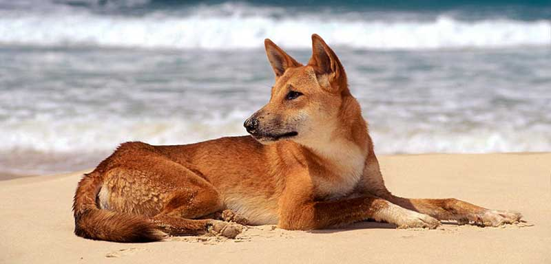 Dingo featured image