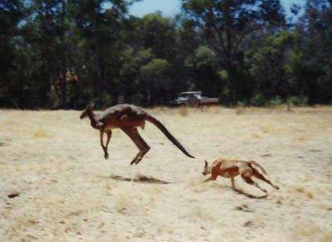 Dingoes are super efficient hunters, who can prey on almost everything they can kill
