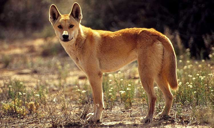 Dingo is a wild canine, which has never been fully domesticated