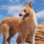 Portuguese Podengo Dogs Characteristics