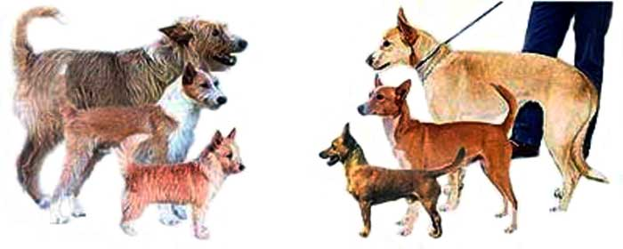 There are three sizes of Podengo dogs - Pequeno (small), Medio (medium), and Grande (large). All three sizes can occur with wire-haired or smooth-haired coats.