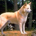 Canaan Dog Breed Info And Characteristics