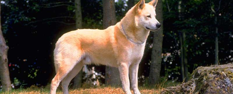 Canaan Dog featured image