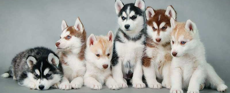 Siberian Husky Puppy Health Care Food Training