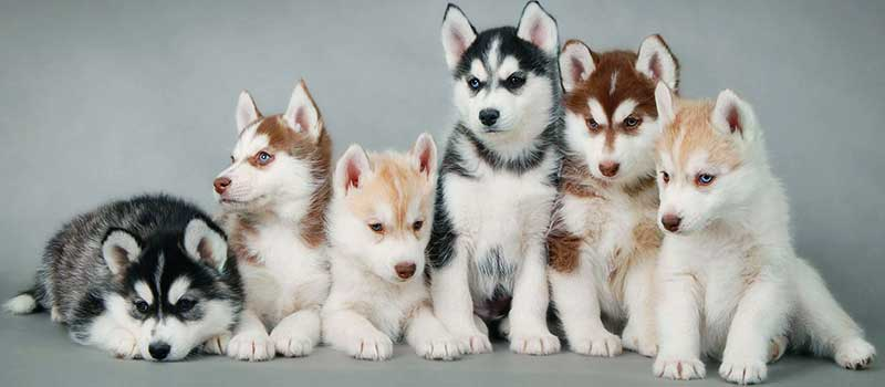 Siberian Husky puppies featured image