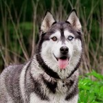 Ten Most Interesting Siberian Husky Facts