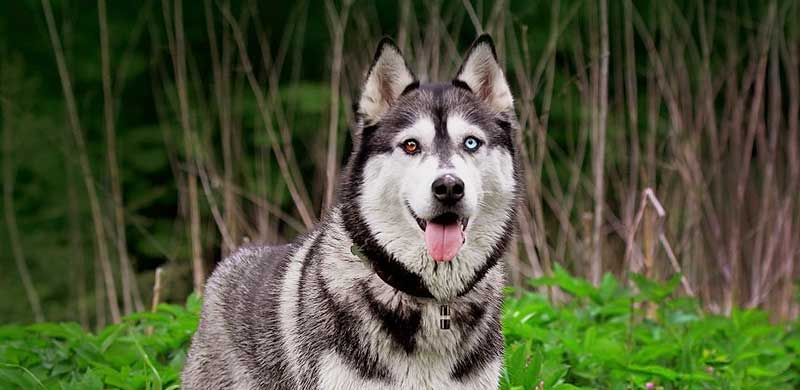 Siberian Husky facts featured image