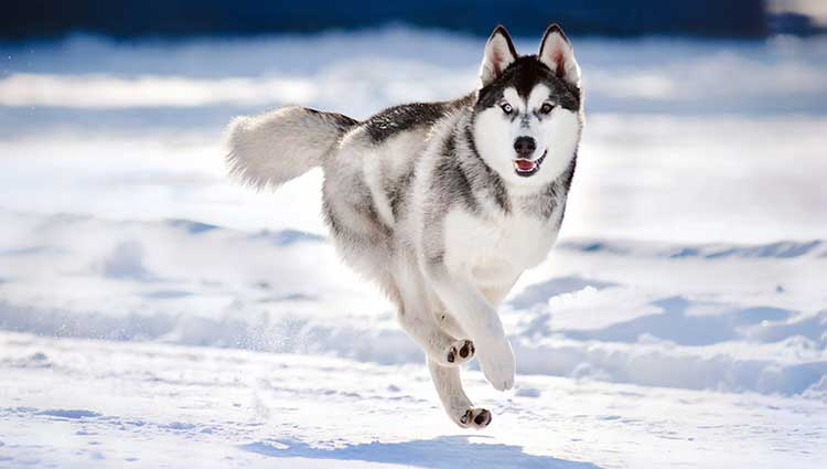 Husky is an incredibly resilient, swift, energetic and hardy breed