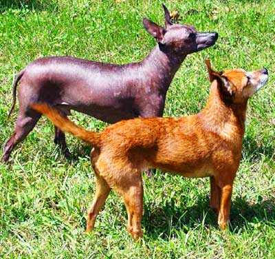 All three types of Xoloitzcuintin come in two varieties - hairless and coated.
