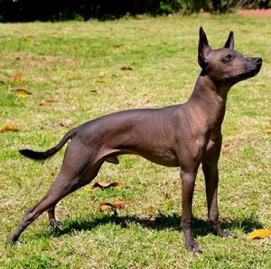 Xolo is a very active, athletic and agile dog with high stamina.