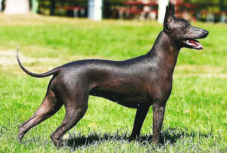 Miniature (Intermediate) Xolo is a moderate type of this beautiful Mexican breed.
