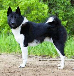 Russko-Evropeĭskaya Láĭka is a very strong, slender and compact dog.