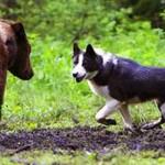 Russo-European Laika Dog Breed Info And Characteristics