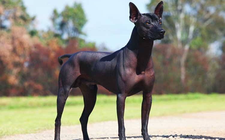 Standard Xolo is the largest of three types of this breed.