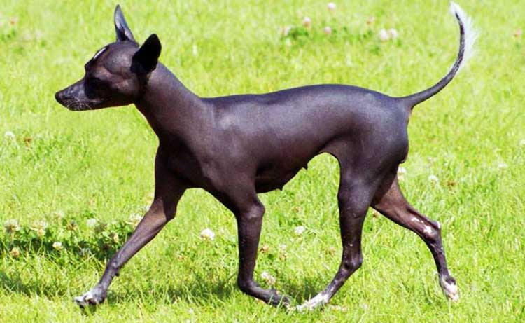 Toy Xolo is the smallest of three types of this breed.