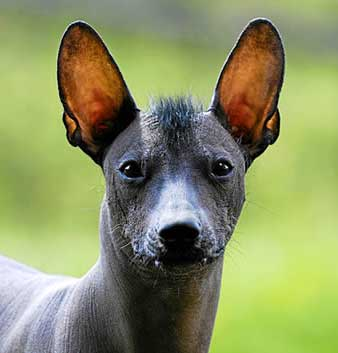 Mexican Hairless Dogs have bat-like ears that are very large, upright and very movable.