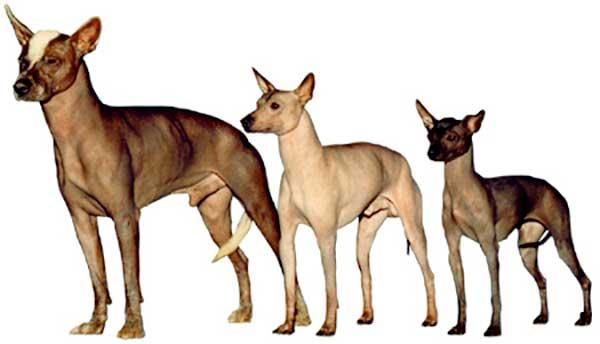 Size comparison between three types of Xoloitzcuintin