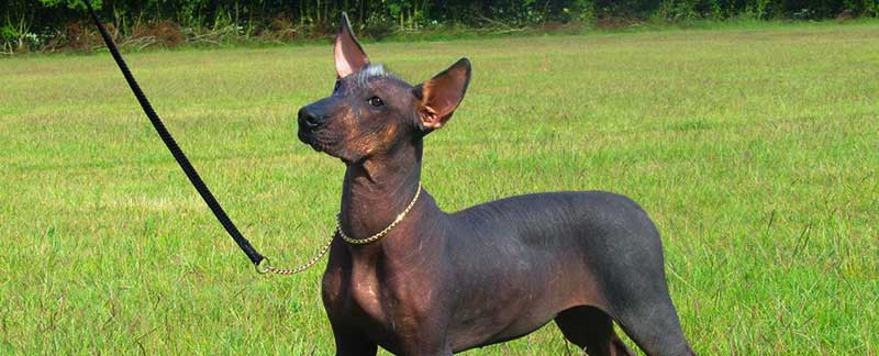 Xoloitzcuintli featured image