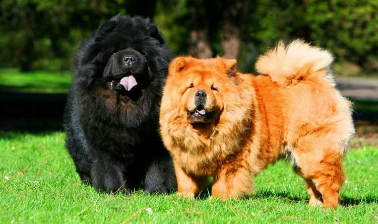 Chows are fluffy dogs like teddy bears.
