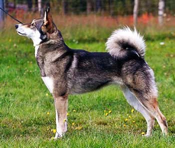 East Siberian Laikas are very active dogs always ready for some action.