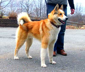 Vostotchno-Sibirskaïa Laïka is a large dog with a wolf-like appearance.