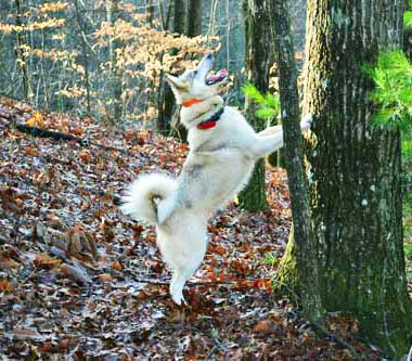 WSL is an expert in treeing small game!