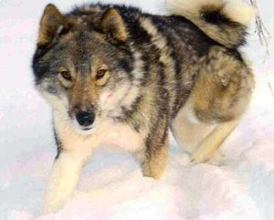 West Siberian Laika has a wolf-like appearance.