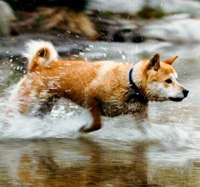 Korean Jindo Dog Breed Info Characteristics Traits