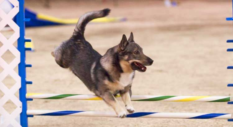 Swedish Vallhunds are top-class sporting dogs.