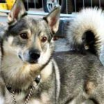 Swedish Vallhund Dog Breed Info And Characteristics