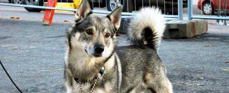 Swedish Vallhund featured image