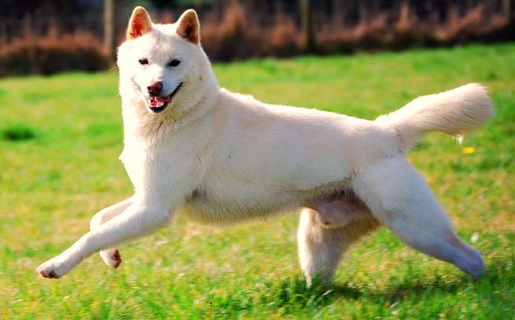 Jindo Gae is an incredibly agile and athletic dog.